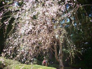 枝垂れ桜2012 138.JPG